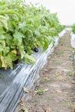 Giardinaggio della melanzana Immagine Stock