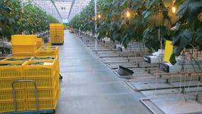 Giardinaggio della melanzana in grande serra, piantando affare delle verdure video d archivio