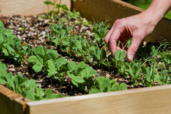 Giardinaggio domestico, piselli Immagine Stock Libera da Diritti