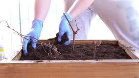 Giardinaggio ed orticoltura - piante delle piante di una donna in una scatola sul terrazzo in primavera stock footage