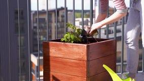 Giardinaggio ed orticoltura uva di ragazza crescente in una scatola su un terrazzo nella citt? stock footage