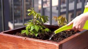 Giardinaggio ed orticoltura uva di ragazza crescente in una scatola su un terrazzo nella citt? archivi video