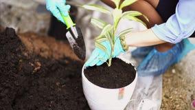 Giardinaggio La ragazza sta lavorando nel giardino dell'ortensia dei cespugli Fiori delle acque del giardiniere della donna con l stock footage