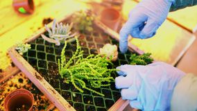 Giardinaggio La ragazza sta lavorando nel giardino dell'ortensia dei cespugli Fiori delle acque del giardiniere della donna con l archivi video