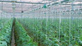 Giardinaggio superiore della camera mobile della fucilazione della melanzana in grande serra archivi video