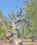 Giardini botanici di Huntington: Cactus del saguaro Fotografia Stock