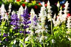 Giardini con la lavanda viola fiorente Fotografia Stock