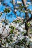 Giardini delle mele di fioritura Immagine Stock