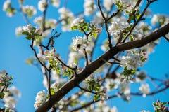 Giardini delle mele di fioritura Fotografie Stock