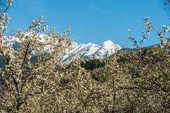 Giardini delle mele di fioritura Immagine Stock Libera da Diritti