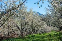 Giardini delle mele di fioritura Fotografie Stock Libere da Diritti