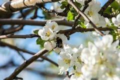 Giardini delle mele di fioritura Fotografia Stock Libera da Diritti