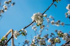Giardini delle mele di fioritura Fotografia Stock