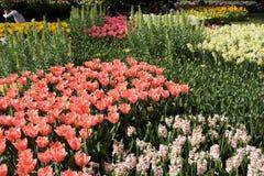 Giardini di Keukenhof Foto di macro dei tulipani immagini stock libere da diritti