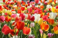Giardini di Keukenhof Foto di macro dei tulipani fotografie stock
