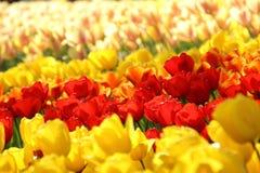 Giardini di Keukenhof Foto di macro dei tulipani fotografie stock libere da diritti