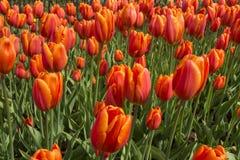 Giardini di Keukenhof in Olanda Fotografie Stock
