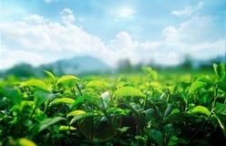Giardini di tè Fotografie Stock