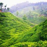 Giardini di tè Immagini Stock