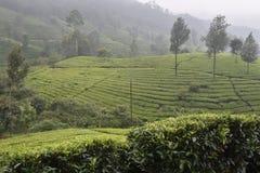 Giardini di tè in India Fotografia Stock Libera da Diritti