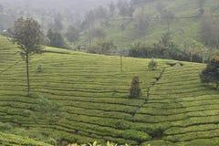 Giardini di tè in India Immagini Stock