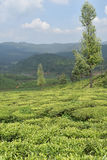 Giardini di tè in India Immagini Stock Libere da Diritti