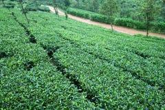 Giardini di tè verde freschi Immagini Stock