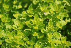 Giardini medicinali e di erbe - giovane origano fresco fotografie stock libere da diritti