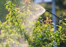 Giardiniere che applica un fertilizzante dell'insetticida ai suoi arbusti della frutta Fotografia Stock