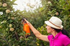 Giardiniere che applica un fertilizzante di insecticide/a al suo arbusto della frutta Fotografia Stock