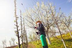 Giardiniere che applica un fertilizzante di insecticide/a alla sua frutta Fotografia Stock