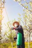 Giardiniere che applica un fertilizzante di insecticide/a alla sua frutta Immagini Stock