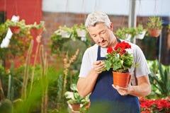 Giardiniere che controlla le foglie del fiore Immagine Stock
