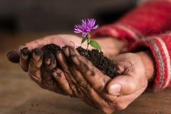 Giardiniere che foggia a coppa un fiore porpora in sue mani Fotografia Stock