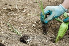 Giardiniere che pianta le piantine del porro Fotografia Stock