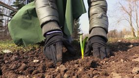 Giardiniere che pianta piantina in suolo coltivato Concetto di giardinaggio video d archivio