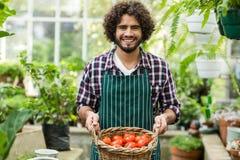 Giardiniere che porta i pomodori freschi in canestro di vimini Fotografie Stock