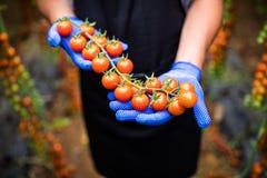 Giardiniere che prende i pomodori ciliegia rossi maturi freschi in giardino con i guanti bianchi nella raccolta del periodo Immagini Stock Libere da Diritti