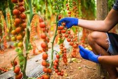 Giardiniere che prende i pomodori ciliegia rossi maturi freschi in giardino con i guanti bianchi nella raccolta del periodo Fotografia Stock Libera da Diritti