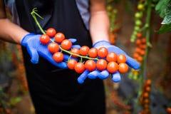 Giardiniere che prende i pomodori ciliegia rossi maturi freschi in giardino con i guanti bianchi nella raccolta del periodo Immagine Stock Libera da Diritti
