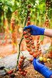 Giardiniere che prende i pomodori ciliegia rossi maturi freschi in giardino con i guanti bianchi nella raccolta del periodo Fotografie Stock