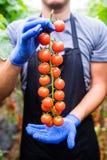 Giardiniere che prende i pomodori ciliegia rossi maturi freschi in giardino con i guanti bianchi nella raccolta del periodo Fotografie Stock Libere da Diritti