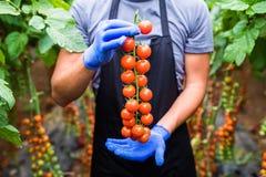 Giardiniere che prende i pomodori ciliegia rossi maturi freschi in giardino con i guanti bianchi nella raccolta del periodo Immagine Stock