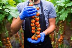 Giardiniere che prende i pomodori ciliegia rossi maturi freschi in giardino con i guanti bianchi nella raccolta del periodo Fotografia Stock
