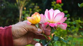 Giardiniere che taglia un fiore rosa video d archivio