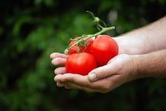 Giardiniere che tiene i suoi pomodori Fotografia Stock Libera da Diritti