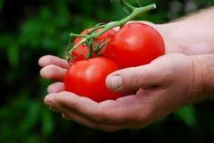 Giardiniere che tiene i suoi pomodori Fotografie Stock