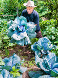Giardiniere con cavolo porpora organico Fotografia Stock