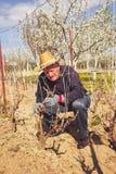 Giardiniere con un pruner tagliente che fa una potatura dell'uva Fotografia Stock Libera da Diritti