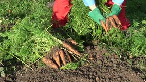 Giardiniere dell'agricoltore che raccoglie le carote arancio in autunno archivi video